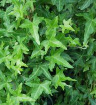 Lierre à feuilles sagittées : Taille 20/30 cm - Godet 9x9 cm