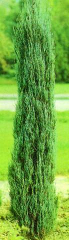 Genévrier des Rocheuses 'Skyrocket' : Taille 40/50 cm - Pot de 3 litres
