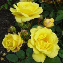 Rosier polyantha Melgod : Racines nues, 3 branches et +
