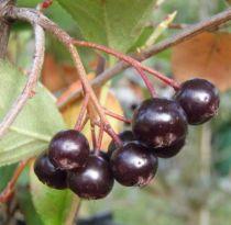 Cerisier de Virginie : Taille 30/50 cm - Pot de 2 litres
