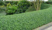 Troène vert / Troène de Californie : Lot de 5 pieds - Taille 60/80 cm  - Racines nues