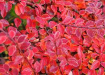 Cotoneaster Horizontalis / Cotoneaster rampant : Taille 30/40 cm - Pot 3 litres