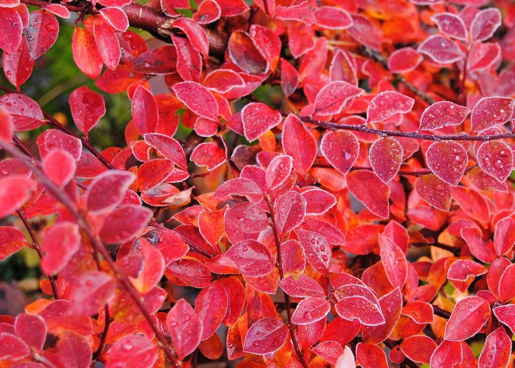 Cotoneaster Horizontalis / Cotoneaster rampant : Taille 20/+ cm - Pot 1.5 litres