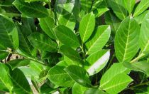 Laurier palme 'Rotundifolia' : Taille 40/60 cm - Pot de 3 litres