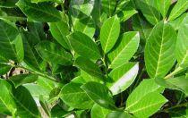 Laurier palme 'Rotundifolia' : Taille 80/100 cm - Pot de 4 litres
