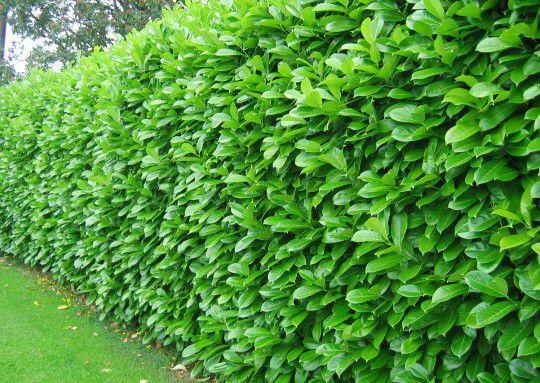 prunus laurocerasus rotundifolia laurier palme 39 rotundifolia 39 taille 80 100 cm pot de 4. Black Bedroom Furniture Sets. Home Design Ideas