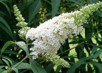 Arbre aux papillons  White Profusion : Taille 40/60 cm - Pot de 3 litres