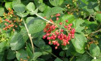 Viorne cotonneuse : Taille 50/60 cm - Racines nues