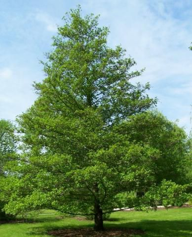 Aulne glutineux : Lot de 5 pieds - Taille 60/90cm - Racines nues