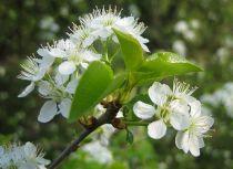 Cerisier de Sainte-Lucie : Lot de 10 pieds - Taille 60/90 cm - Racines nues