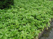 Pachysandre terminale 'Green Carpet' : Taille 10/15 cm - Godet 9x9 cm