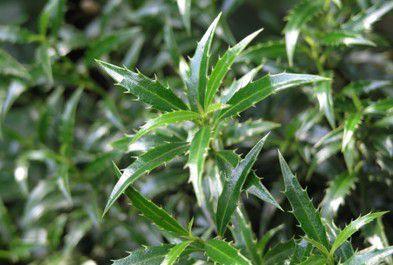 Houx à feuilles de myrte : Taille 30/+ cm - Pot de 3 litres