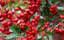 Buisson ardent 'Red Column' : Taille 60/80 cm - Pot de 3 litres