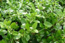 Buisson ardent Soleil d or : Taille 60/80 cm - Pot de 3 litres