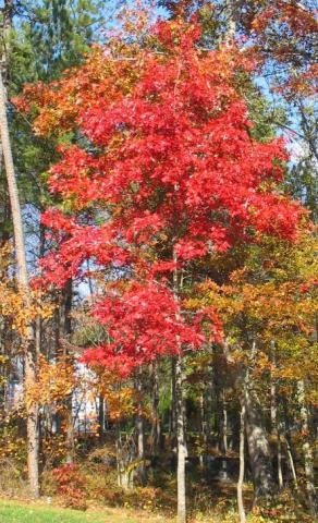 Chêne rouge d'Amérique : Taille 70/90 cm - Racines nues