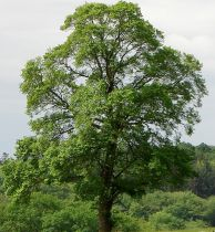 Orme champêtre : Taille 60/90 cm - Racines nues
