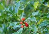 Ilex aquifolium 'Alaska' : Taille 60/80 cm - Pot de 3 litres