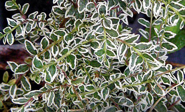 Chèvrefeuille à feuilles de buis Silver Beauty : Taille 25/+ cm - Pot de 2 litres