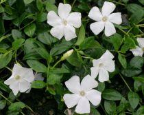 Petite pervenche à fleurs blanches : Godet de 9x9 cm