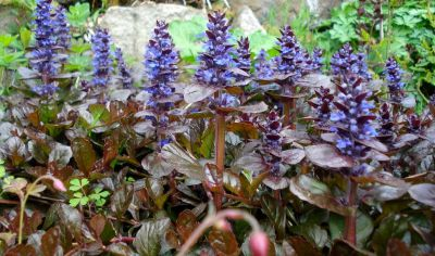 ajuga reptans 39 atropurpurea 39 bugle rampant pourpre. Black Bedroom Furniture Sets. Home Design Ideas