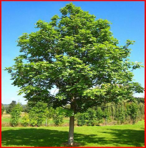 Frêne commun : Taille 60/90 cm - Racines nues
