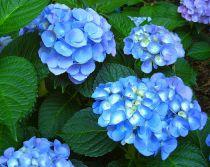 Hortensia 'Nikko Blue' : Taille 30/40 cm - Pot de 3 litres