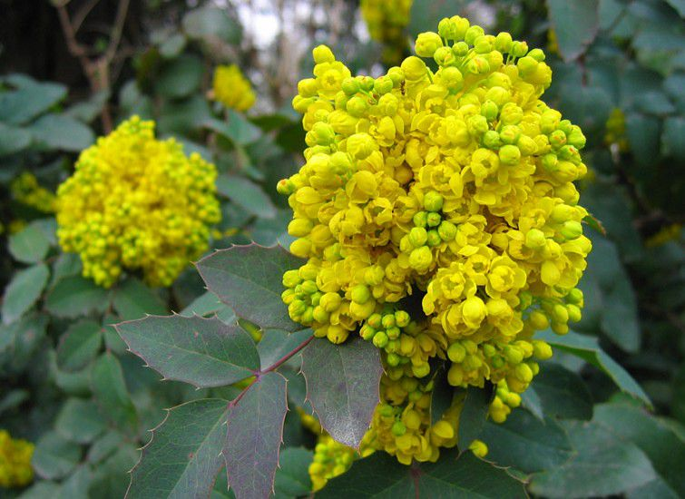 Mahonia à feuilles de houx : Taille 30/40 cm - Pot de 3 litres