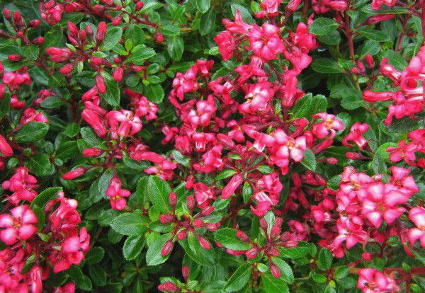 Escallonia 'Read Dream' : Taille 20/30 cm - Pot de 3 litres