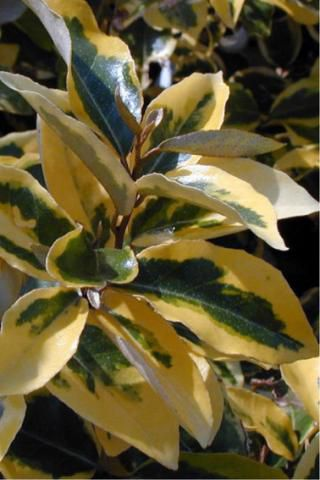 Chalef / Elaeagnus Ebbingei Limelight : Taille 10/15 cm - Godet 9x9 cm