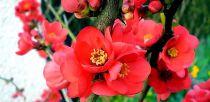 Cognassier du Japon rouge et jaune : Taille 30/40 cm - Pot de 3 litres