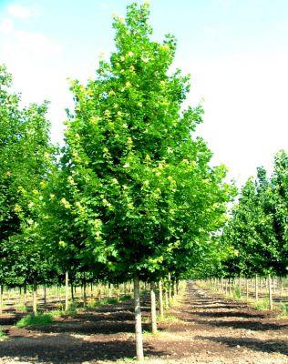 acer planatoides rable plane lot de 5 pieds taille 60 90 cm racines nues jardin des. Black Bedroom Furniture Sets. Home Design Ideas