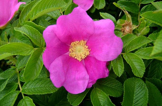 Rosier Rugeux / Rosier Rugosa : Taille 30/40 cm - Racines nues