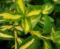 Fusain fortunei Sunspot : Taille 25/30 cm - Pot de 3 litres