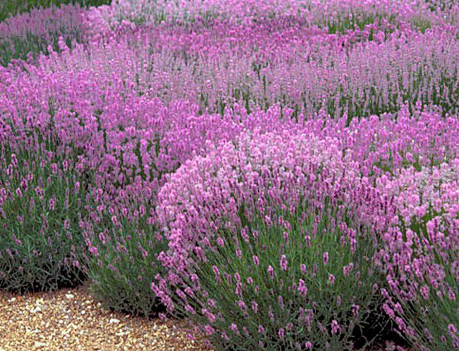 lavandula angustifolia 39 rosea 39 lavande angustifolia. Black Bedroom Furniture Sets. Home Design Ideas