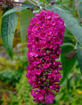 Arbre aux papillons 'Royal red' : Taille 30/50 cm - Racines nues