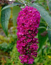 Arbre aux papillons 'Royal red' : Taille 40/60 cm - Pot de 3 litres