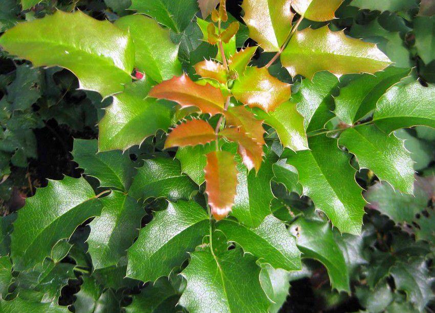 Mahonia à feuilles de houx : Taille 30/40 cm - Racine nues