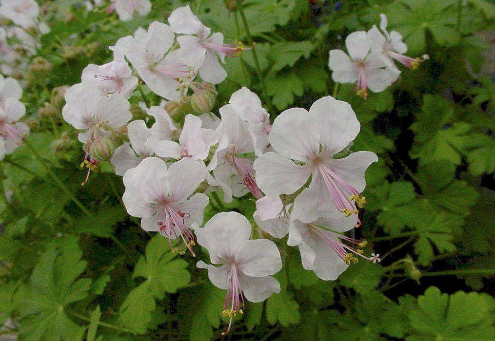 Géranium vivace cantabrigiense Biokovo : Godet de 9x9 cm - 0,6 litre