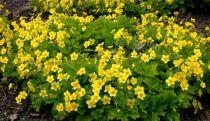Faux fraisier jaune : Godet de 9x9 cm - 0,6 litre