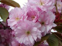 Cerisier à fleurs du Japon / Serrulata Amanogawa : Tailles 80/100 - Pot de 3 litres