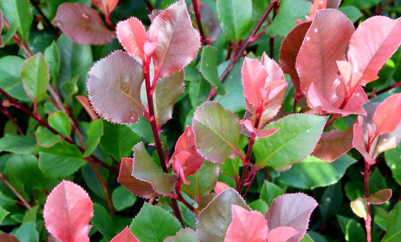 Photinia Fraseri Little Red Robin  : Taille 30/40 cm - Pot de 3 litres