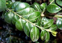 Buis commun à feuilles rondes : Taille 20/25 cm - Racines nues