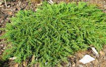 Genévrier commun 'Green Carpet' : Taille 30/40 cm - Pot de 3 litres