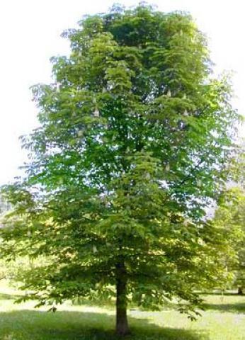 Châtaignier : Taille 60/90 cm - Racines Nues