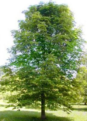 castanea sativa ch taignier taille 60 90 cm racines nues jardin des gazelles. Black Bedroom Furniture Sets. Home Design Ideas