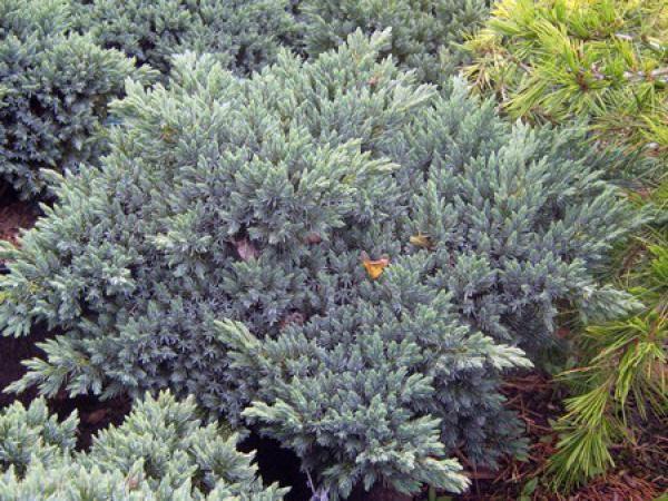 Genévrier Blue Star : Taille 25/30 cm - Pot de 4 litres