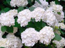 Hydrangea macrophylla Madame Emile Mouillère : taille 30/40 cm - pot de 3 litres