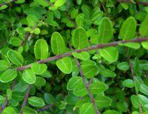Chèvrefeuille à feuilles de buis 'Maigrüen' : Taille 15/20 cm - Godet  9x9 cm