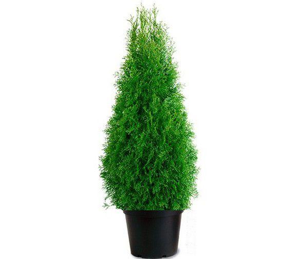 Thuya du Canada Smaragd : Taille 80/+ cm - Pot de 3/4 litres