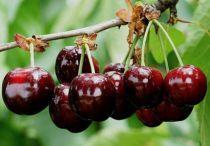 Cerisier Bigarreau Noir : 1/2 tige - Racines nues